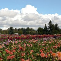 Dahlia Farm in Oregon