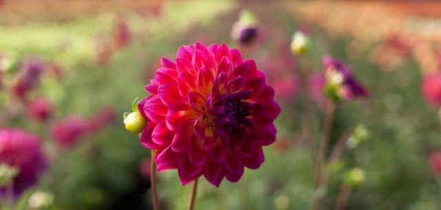 dahlia-oregon-farm-3