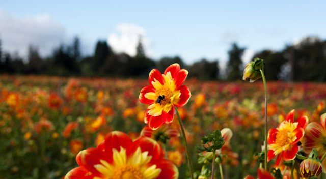 dahlia-farm-oregon-8