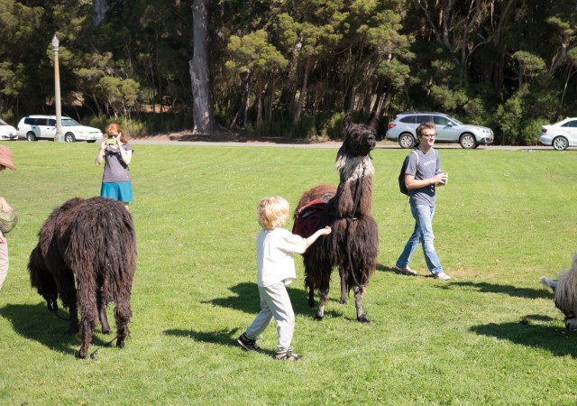 llamas in golden gate park san francisco